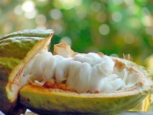 Fruto e sementes do cacau